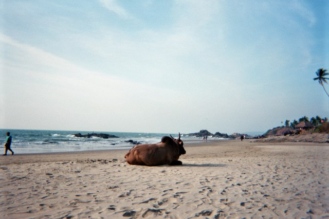 Image for Cow on the Beach