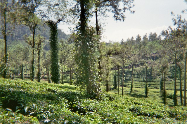 Image for Kumily Tea Plantation