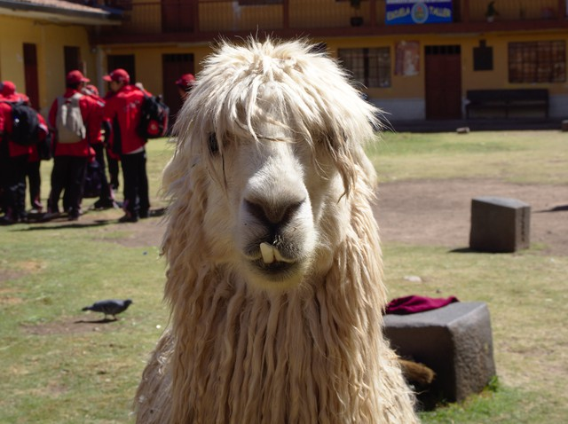 Image for Rastafari Alpaca